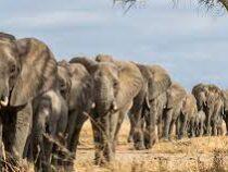 Полтора года в пути: в Китае стадо слонов дошло до нового места обитания