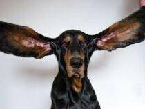 В США собака установила рекорд по длине ушей