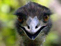 В Японии разыскивают десятки сбежавших с фермы гигантских страусов эму