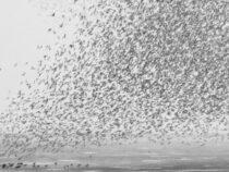 В Англии засняли птичью стаю небывалых размеров