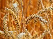 Объем урожая зерновых в Кыргызстане сократился на 34 процента